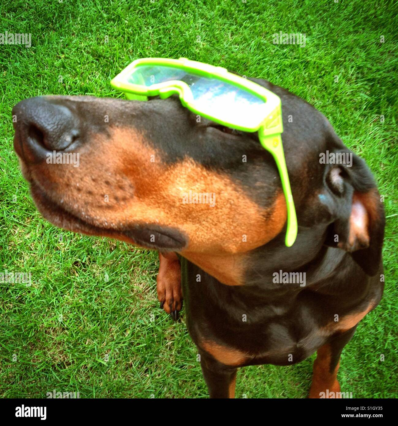 Dog (Doberman) wearing 3D style glasses in the sun - Stock Image