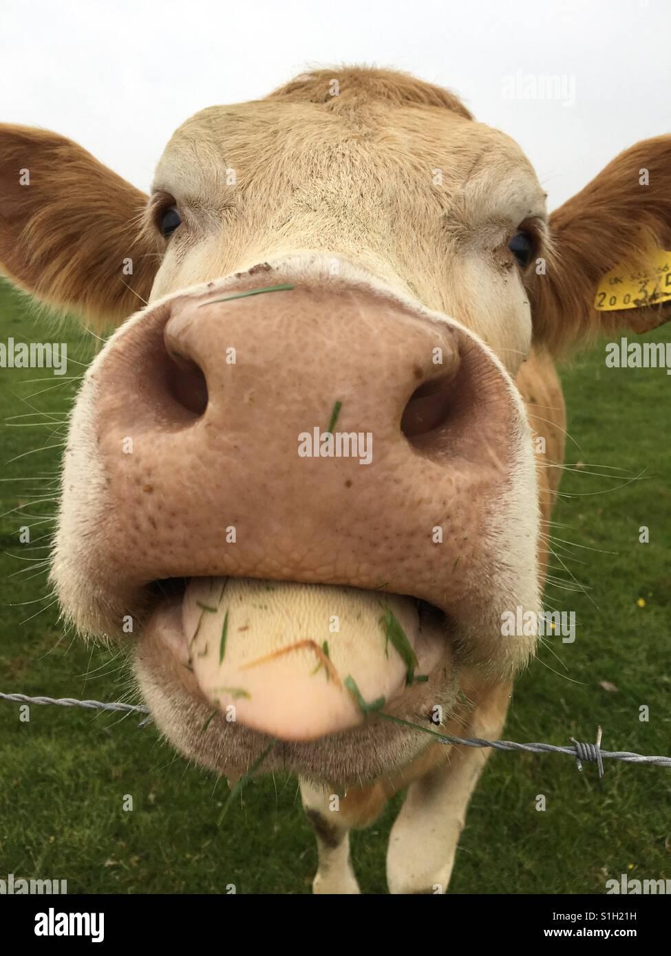 Woman lick cow-2373