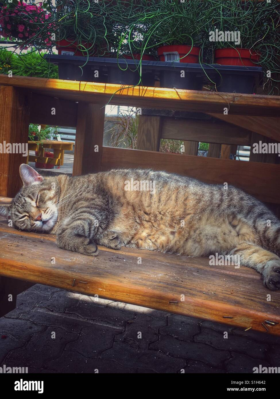 A tabby cat snoozes in the rays of the sun. The cat lives in a garden store and is lying on a shelf underneath merchandise. - Stock Image