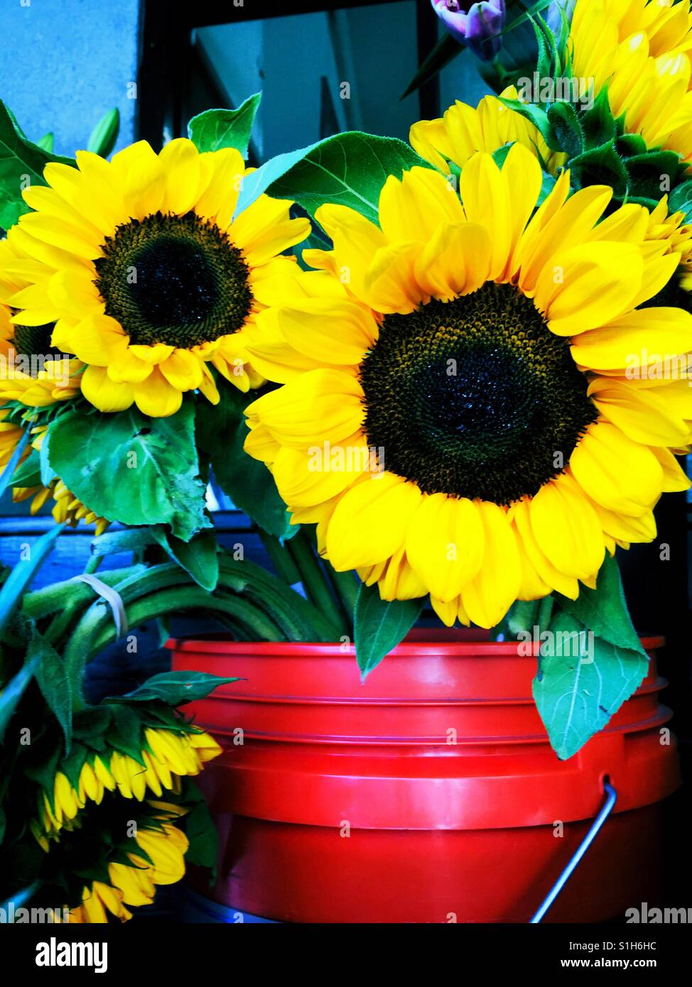 Five Careless Bright Golden Yellow Sunflowers in red and blue buckets, upright and floppy - Stock Image