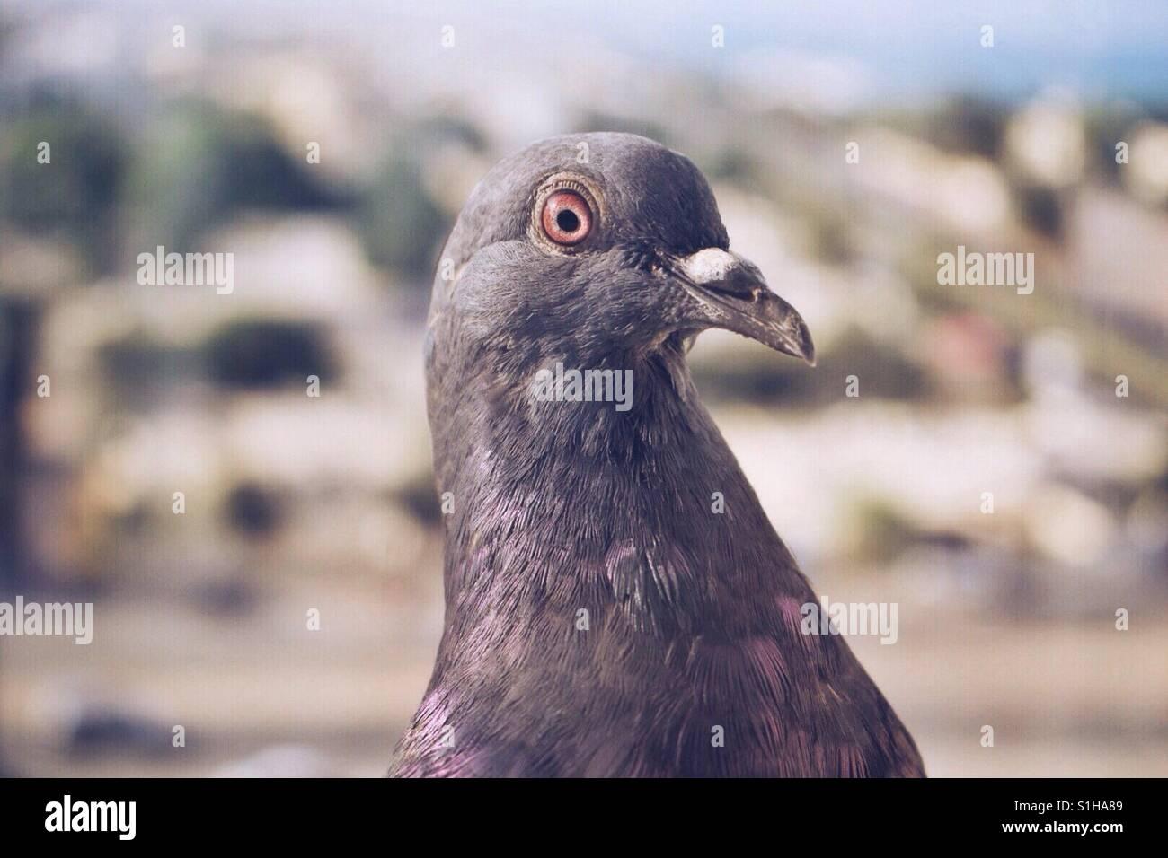 Pigeon - Stock Image