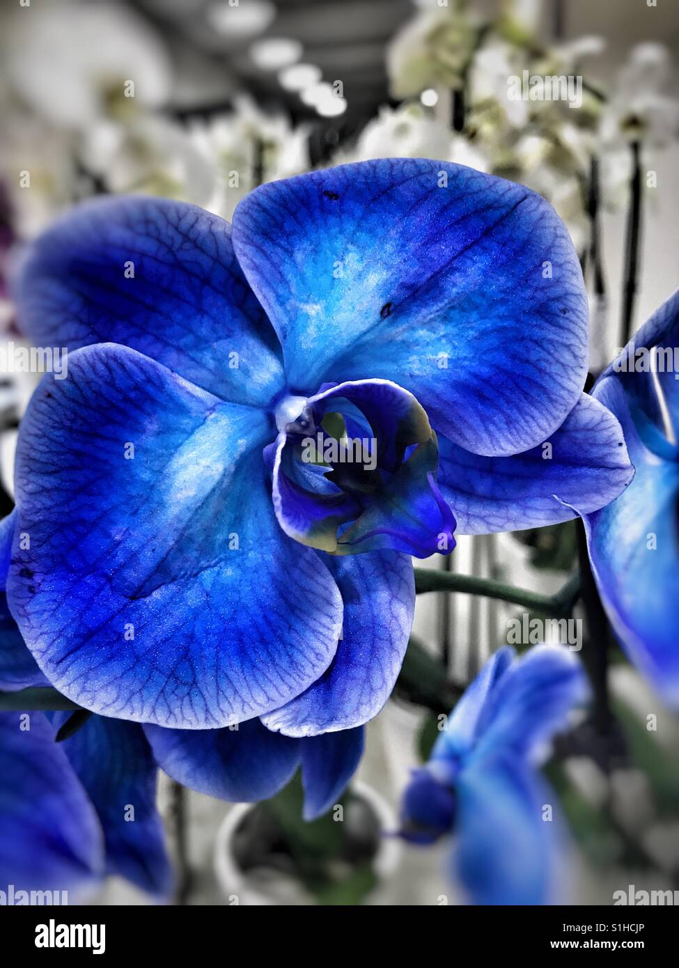 Blue Orchid Flowers Stock Photos Blue Orchid Flowers Stock Images