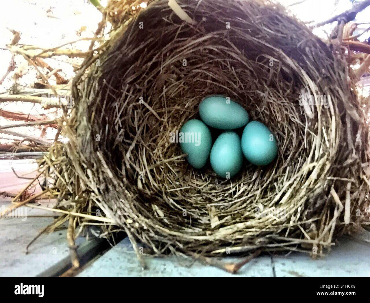 A perfect birds nest holds four robin's egg blue eggs. - Stock Image