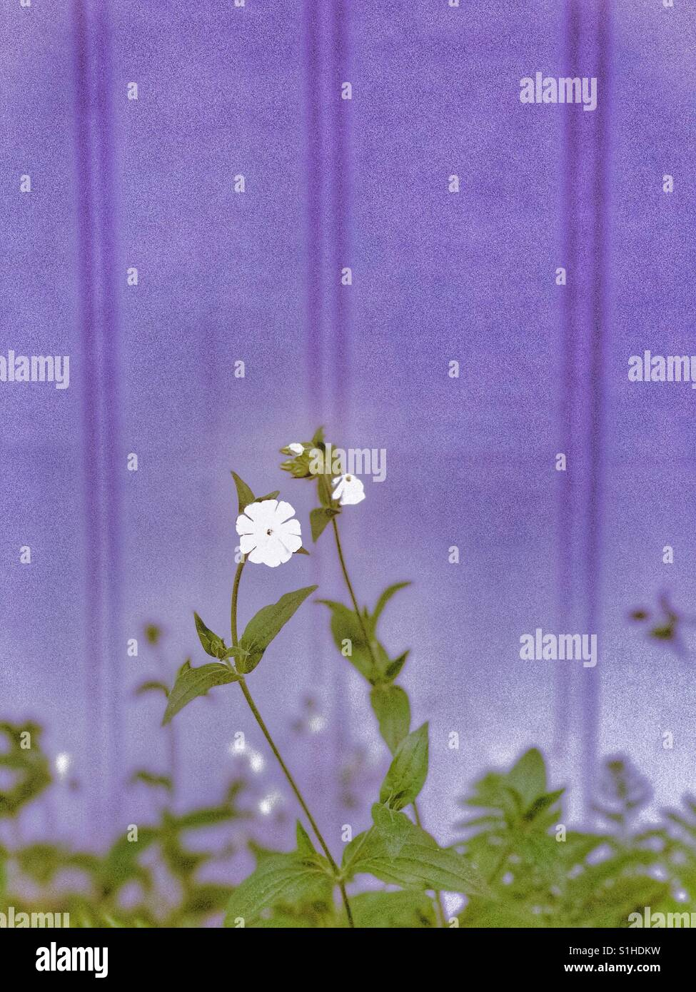 Pretty little white flowers against a periwinkle wall - Stock Image