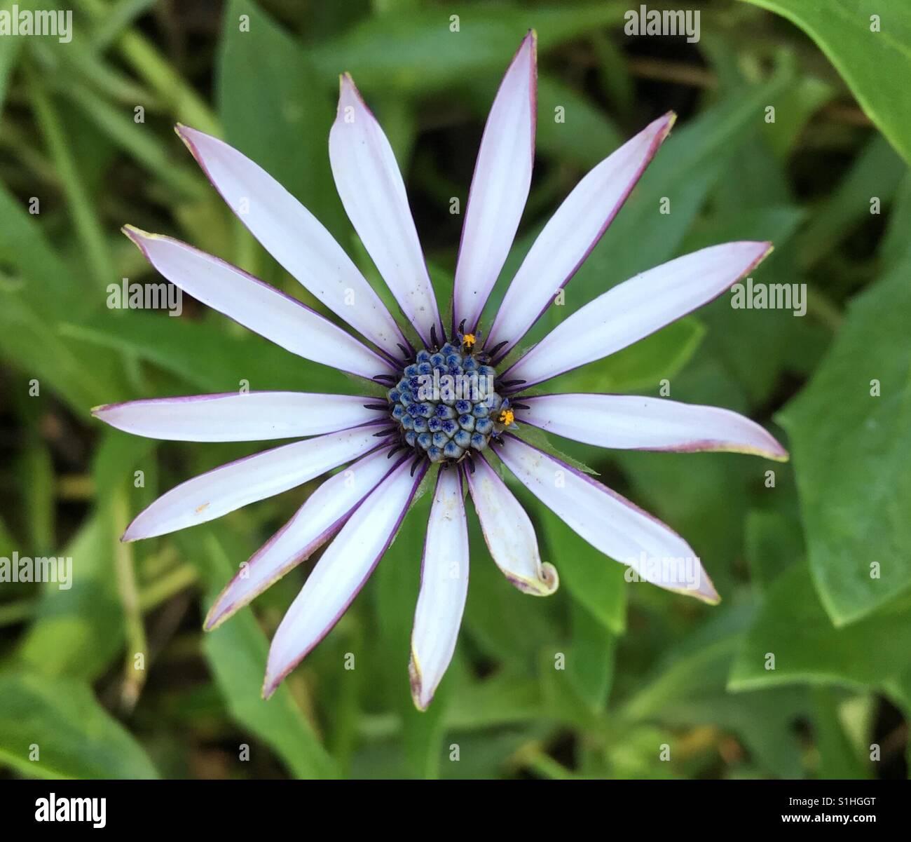Purple flower with blue center stock photos purple flower with white wild daisy with blue center stock image izmirmasajfo