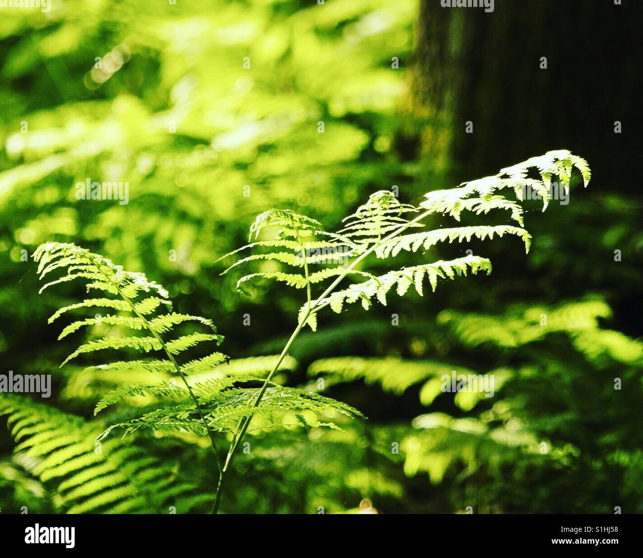 Fern leaf in sunlight - Stock Image