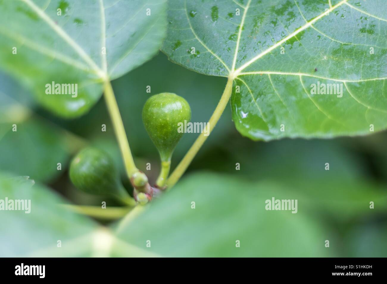 Horizontal closeup photo of a green fig ripening on a tree with another fig and the green leaves in soft focus in - Stock Image