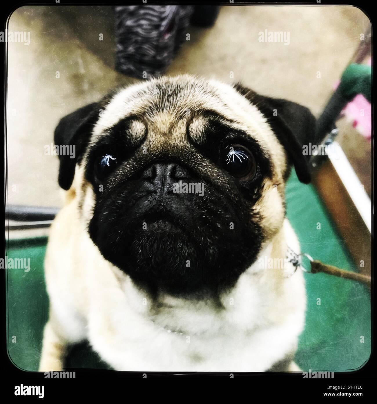 Starry eyed Pug - Stock Image