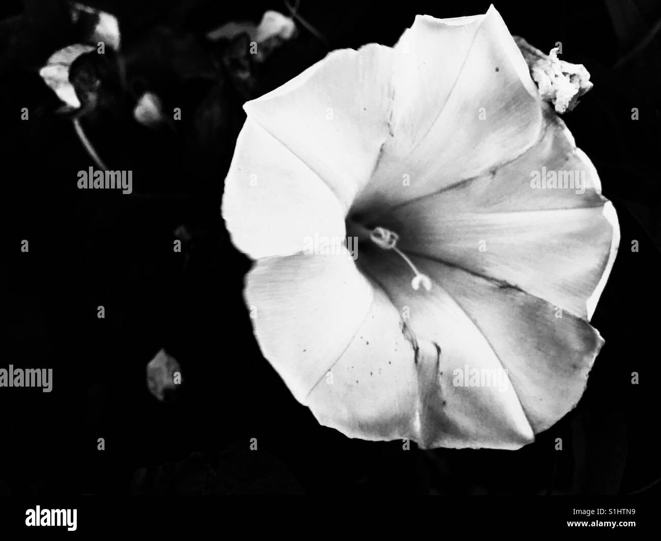 Morning Glory Flower Black And White Stock Photos Images Alamy