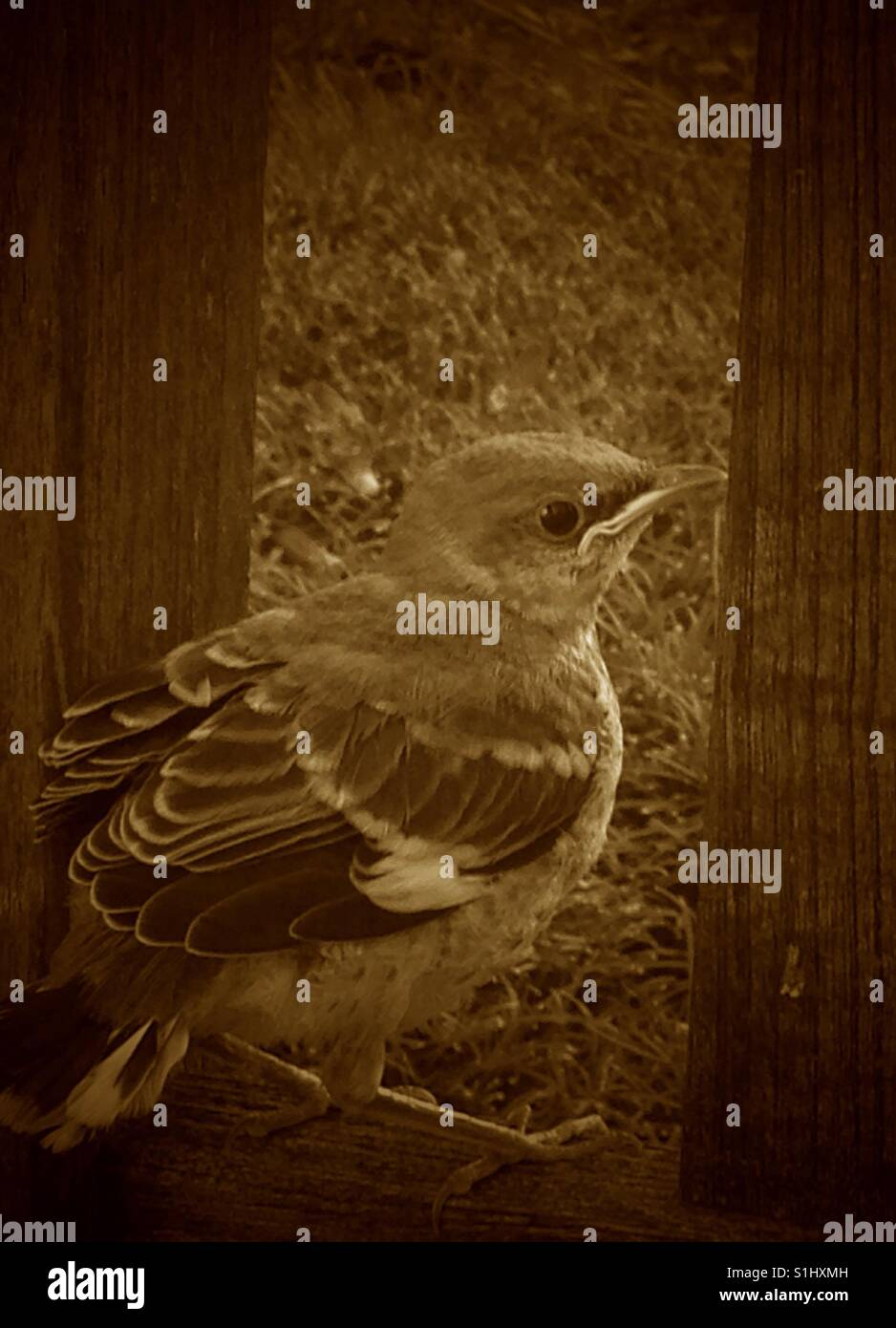 A mocking bird rests in a window seal, sepia filter. - Stock Image