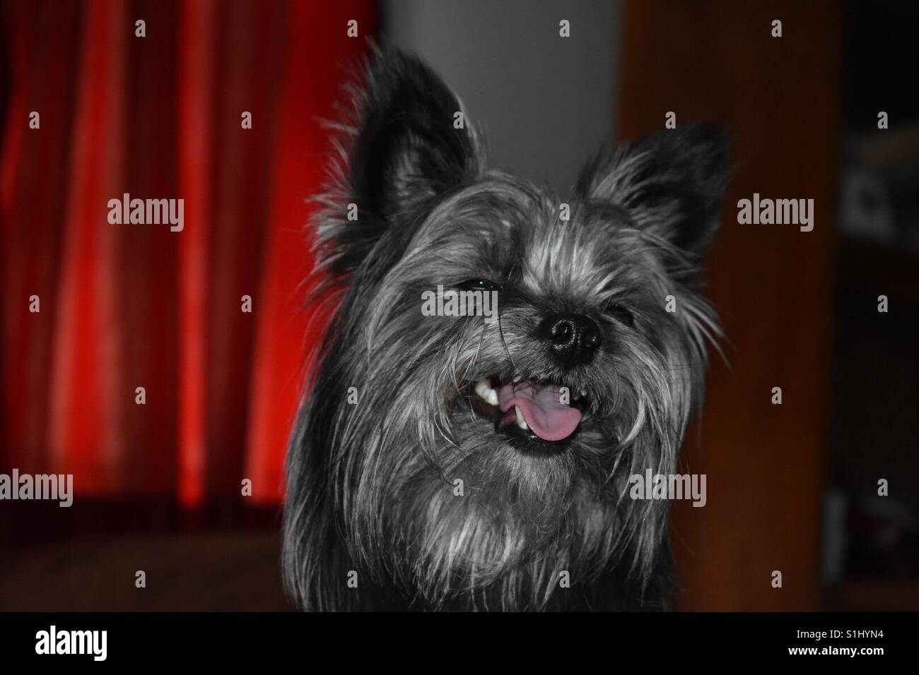 yorkshire terrier - Stock Image