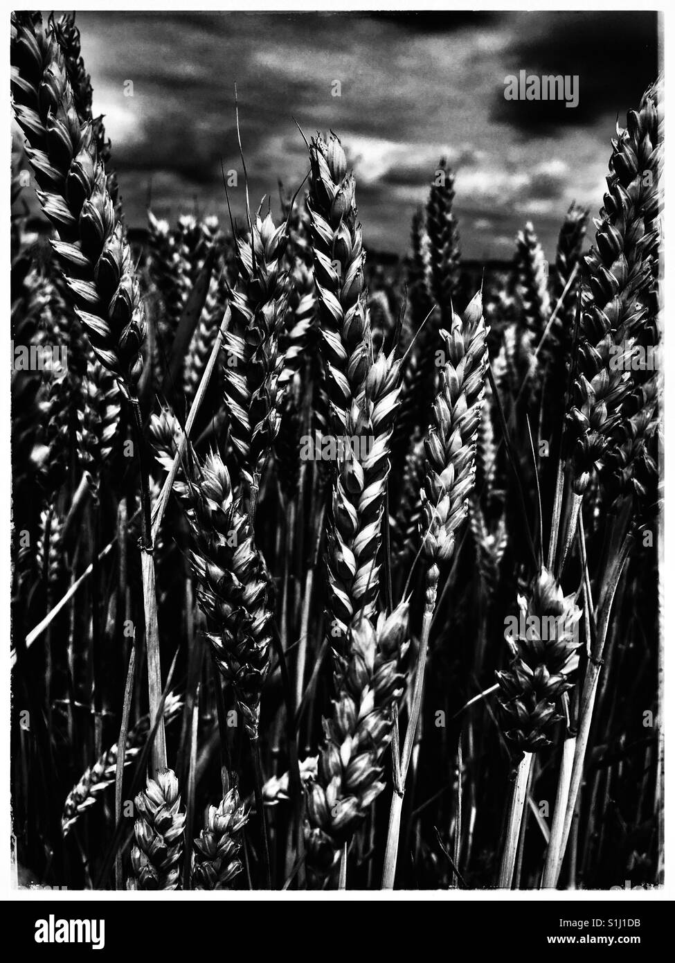 Wheat Field in East Anglia - Stock Image