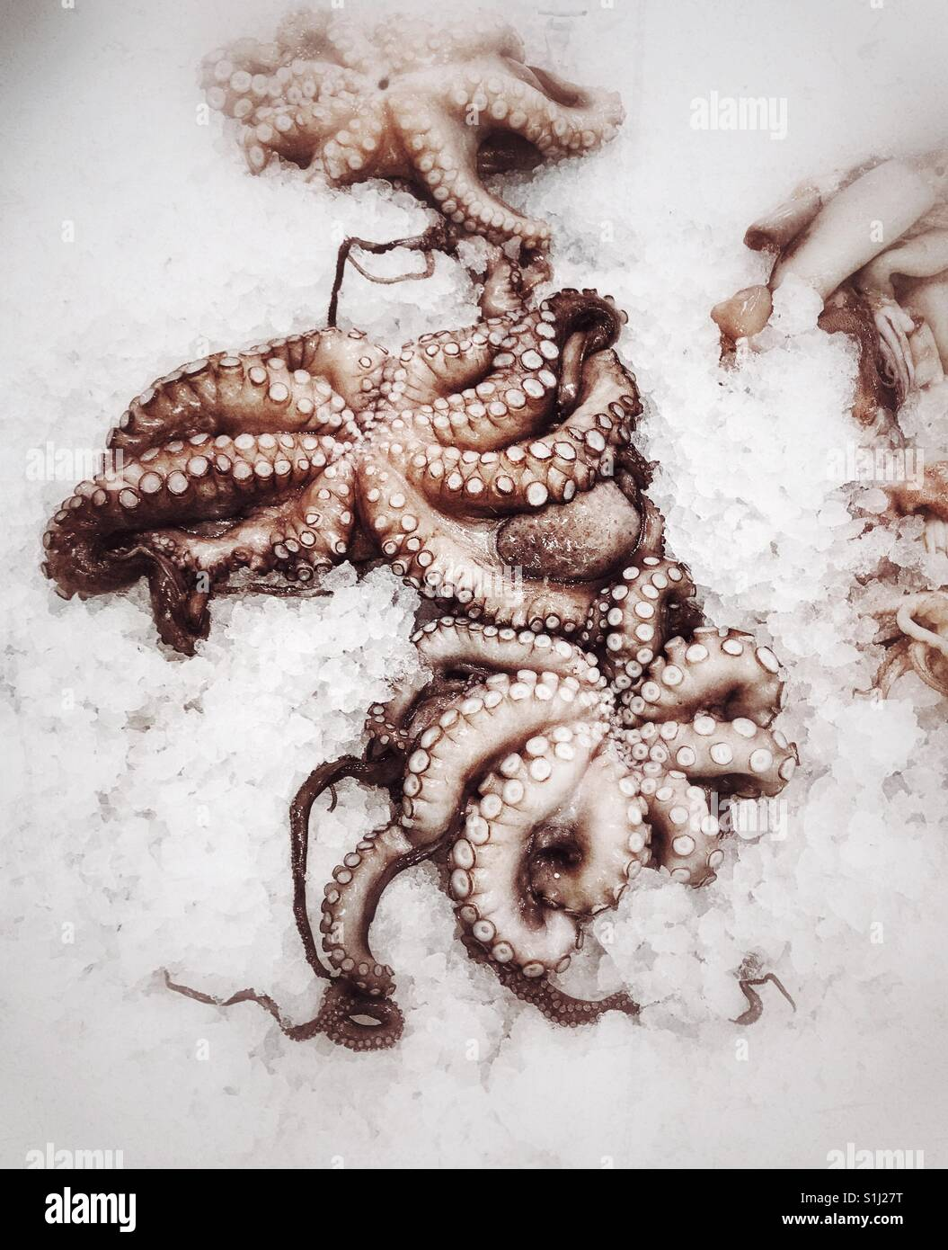Octopi in a cold display - Stock Image
