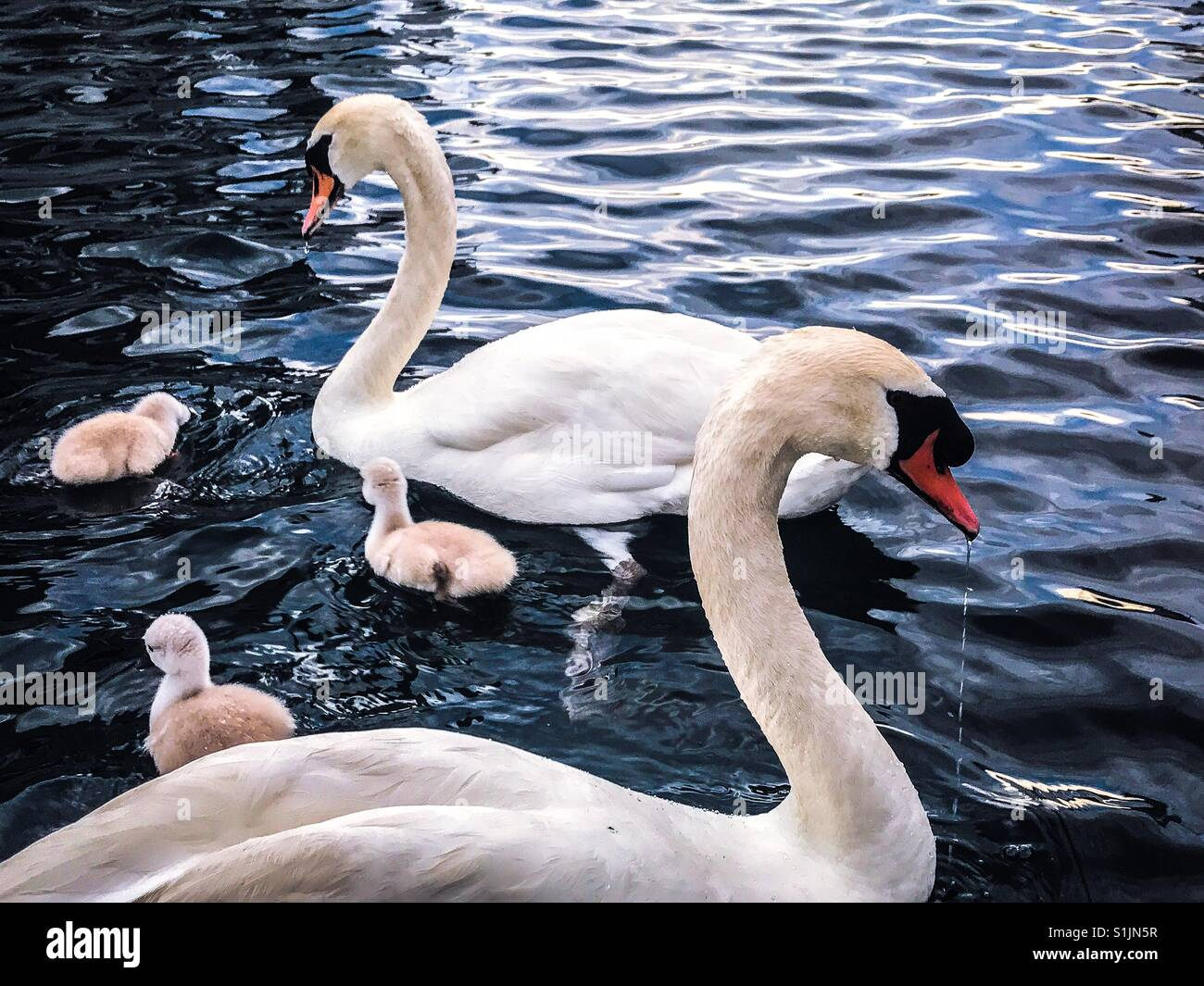 Swans on lake with their babies - Stock Image