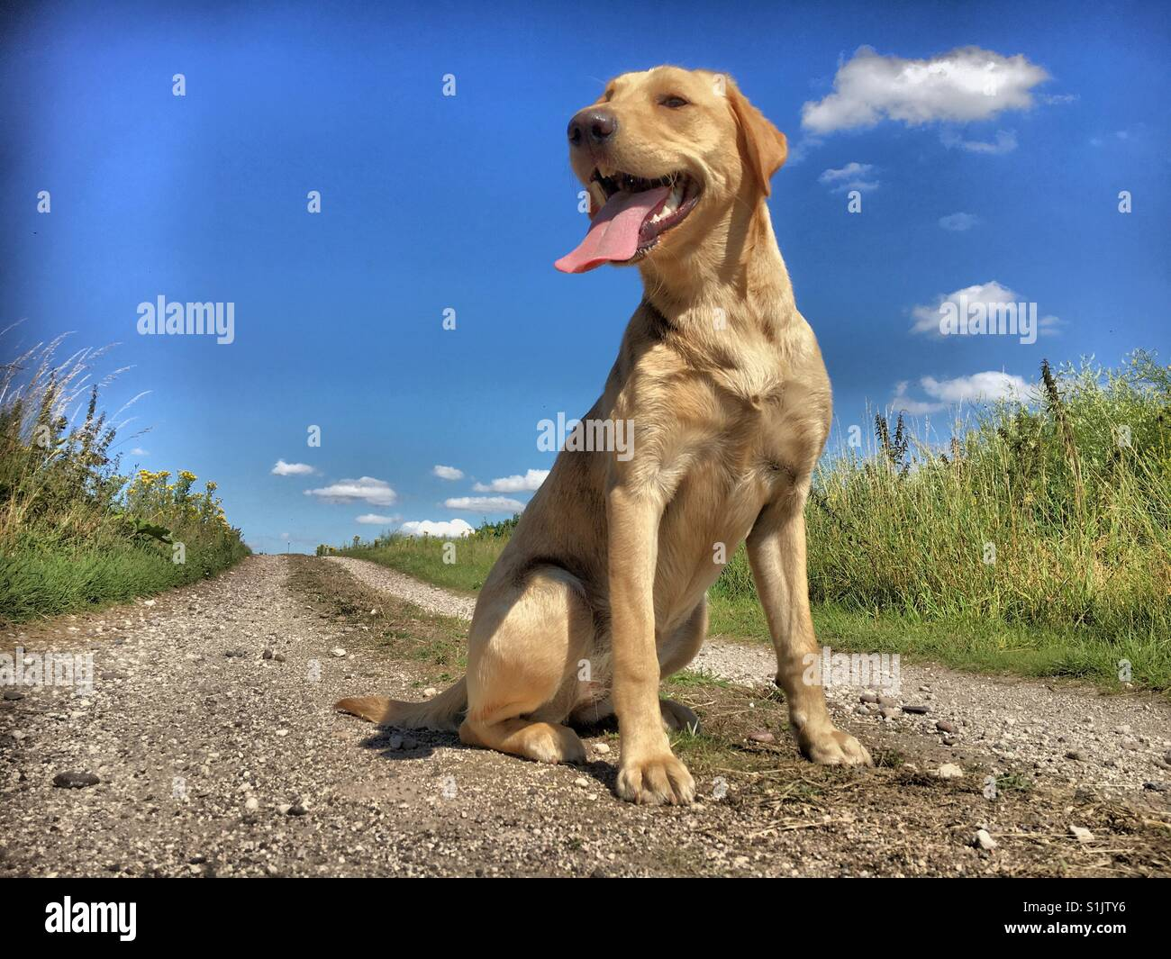 Labrador dog sat panting on countryside path in the sun - Stock Image