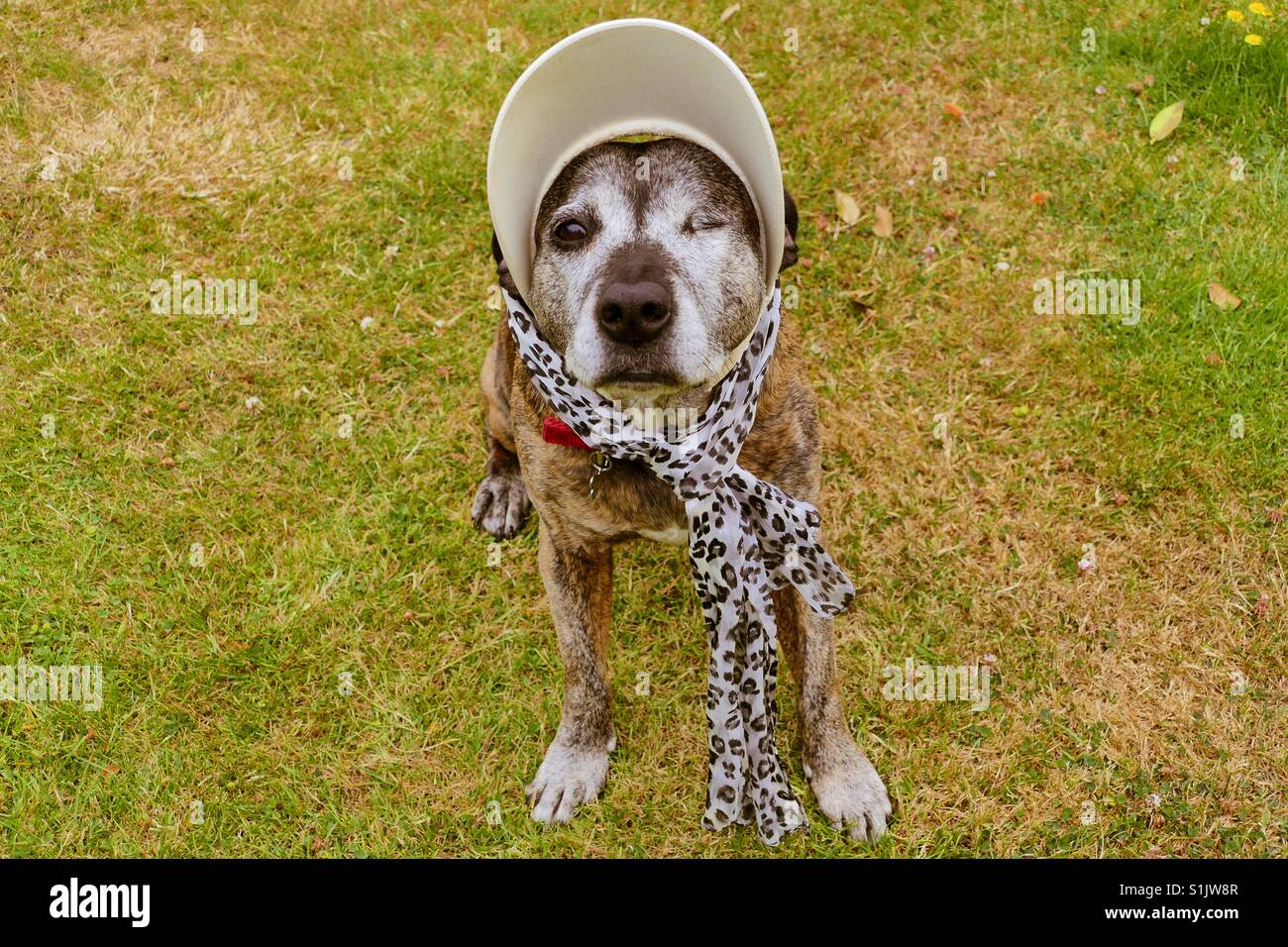 Staffie dog dressed up for summer - Stock Image