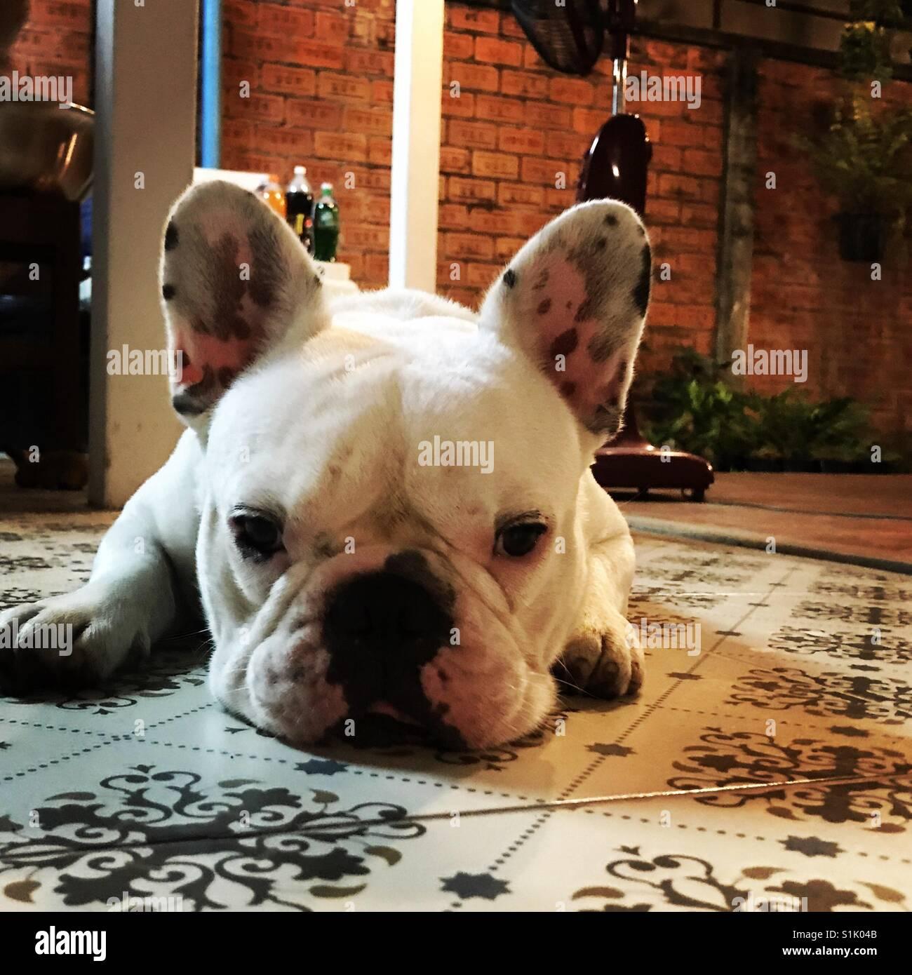 Bored dog - Stock Image