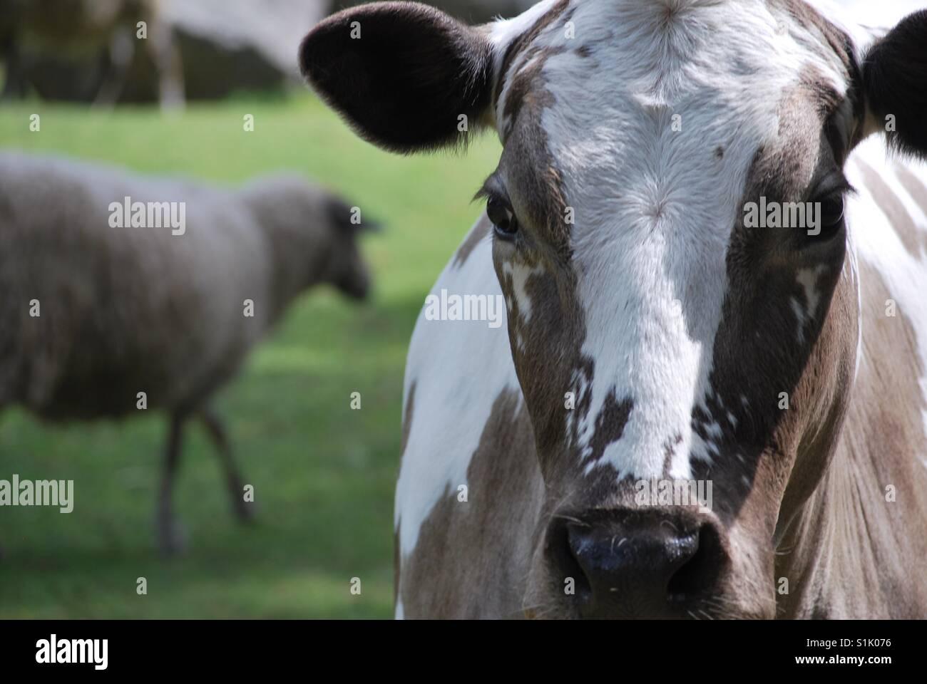 Farm animals on pasture - Stock Image