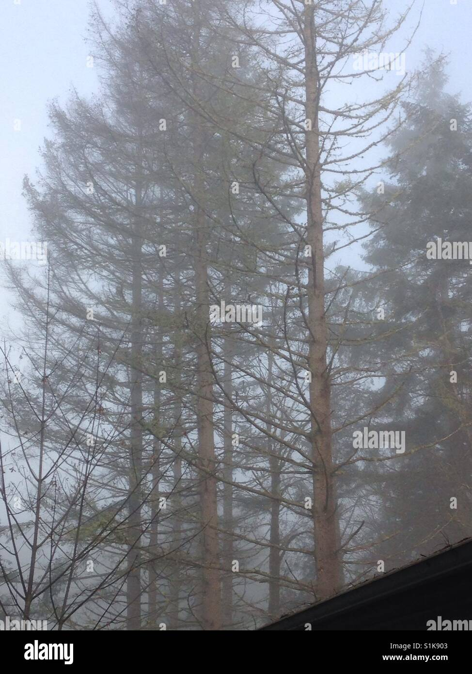 Fog surrounds evergreen trees including one dead tree looming over a house - Stock Image