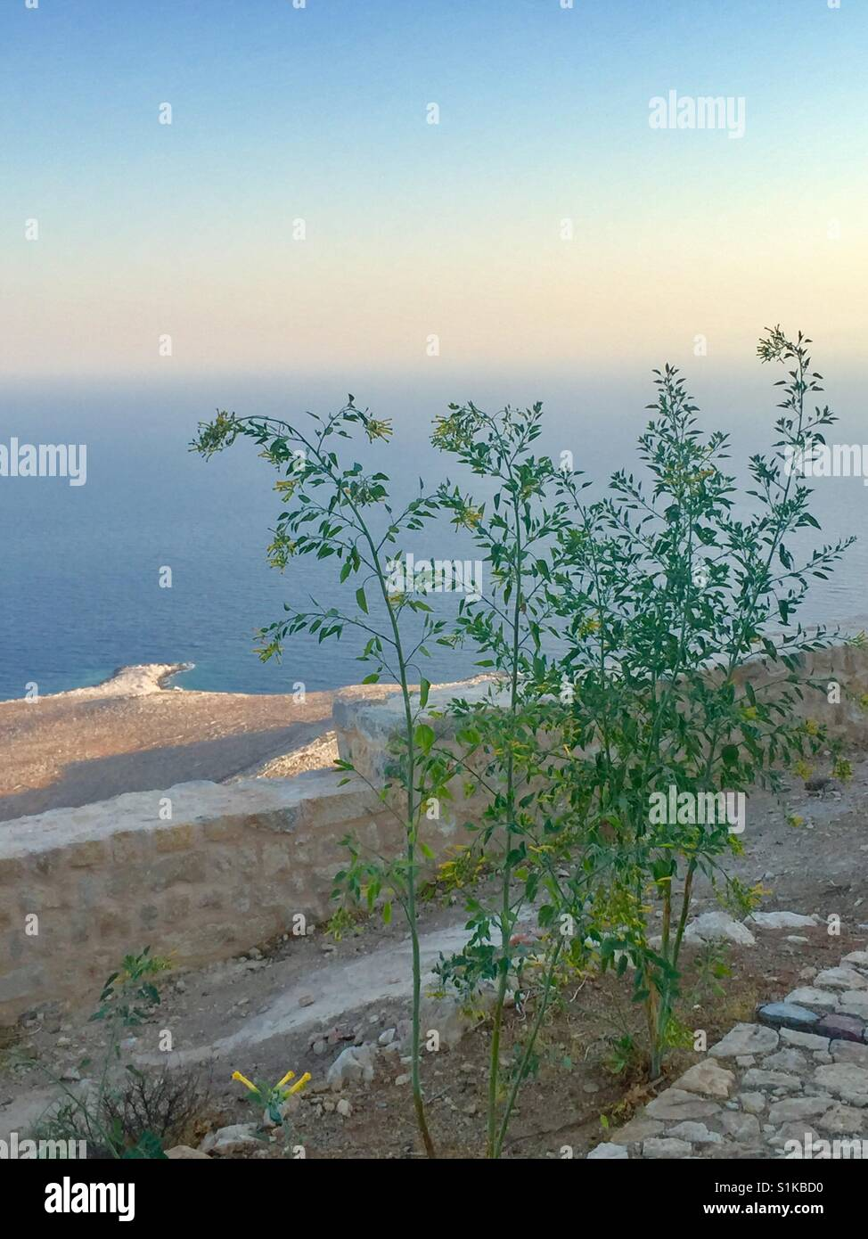 Nicotiana glauca growing in the ruins of Halki Castle, Greece. Evening. - Stock Image
