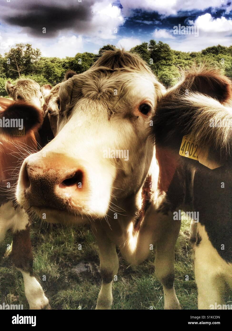 Beef cattle England - Stock Image