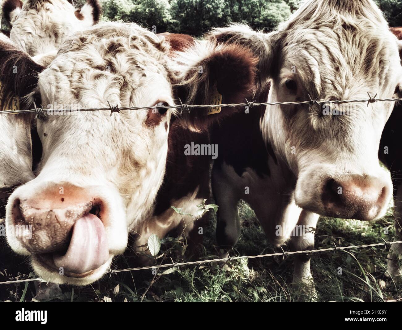 Beef cattle, Capel St Andrew, Suffolk, UK. - Stock Image