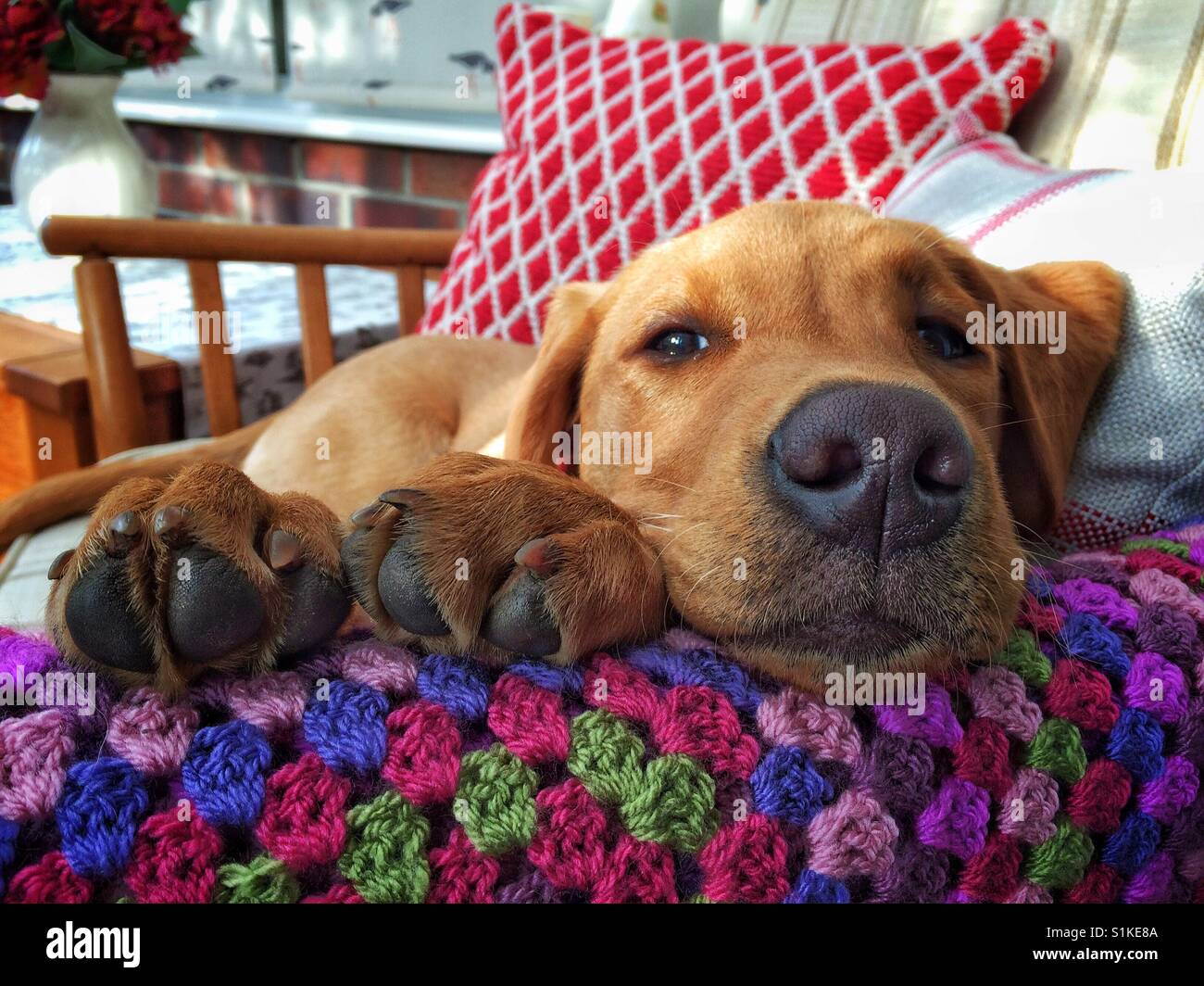 A tired Labrador Retriever puppy or dog snoozing and sleeping with its paws resting on a colourful blanket whilst - Stock Image