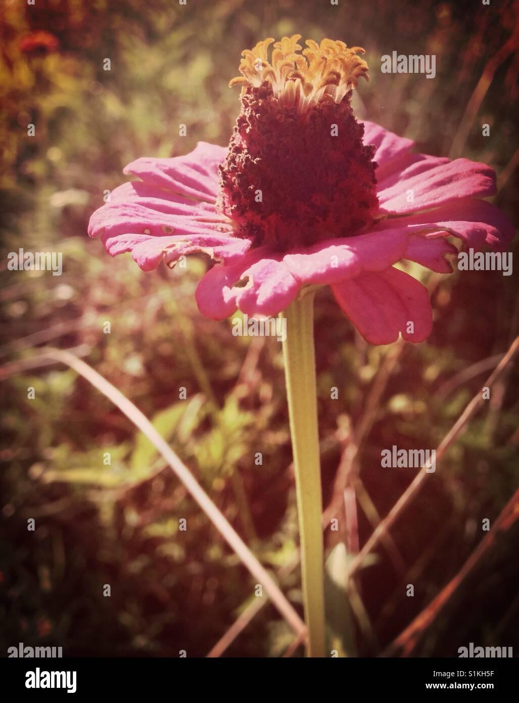 Flawed wildflower- North Carolina - Stock Image