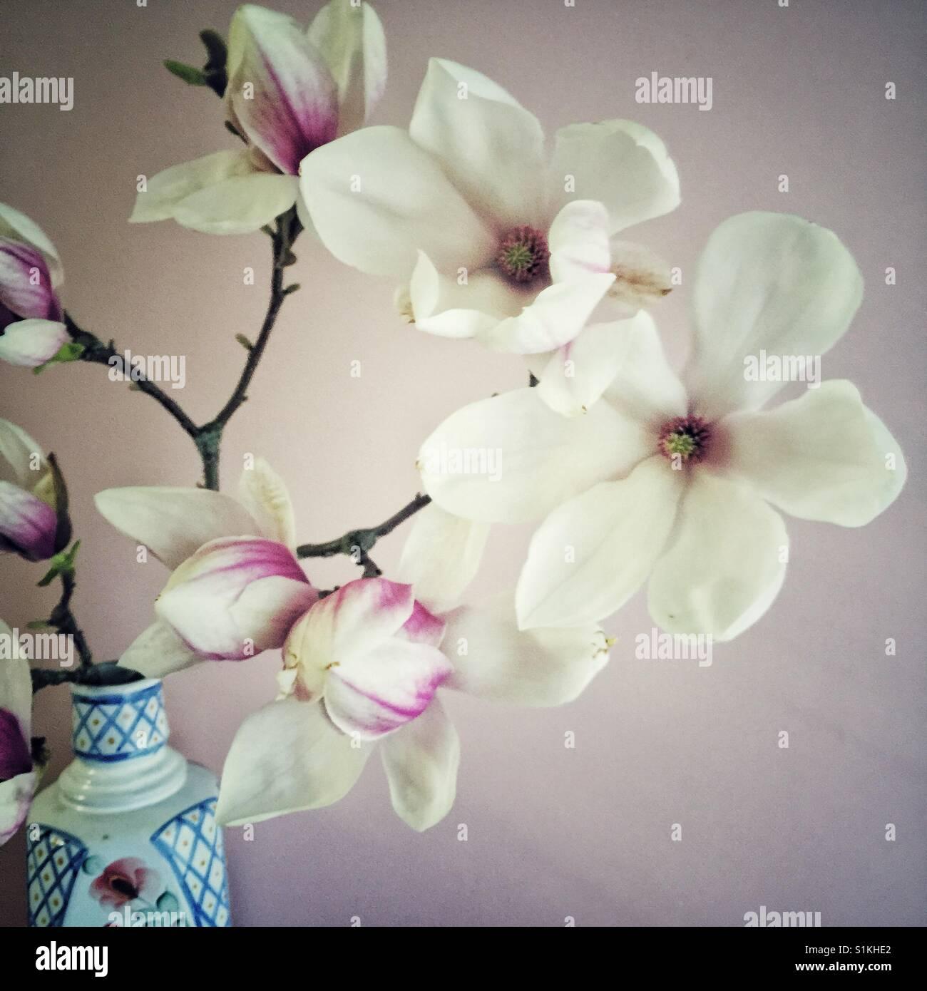 Magical magnolia blossoms - Stock Image