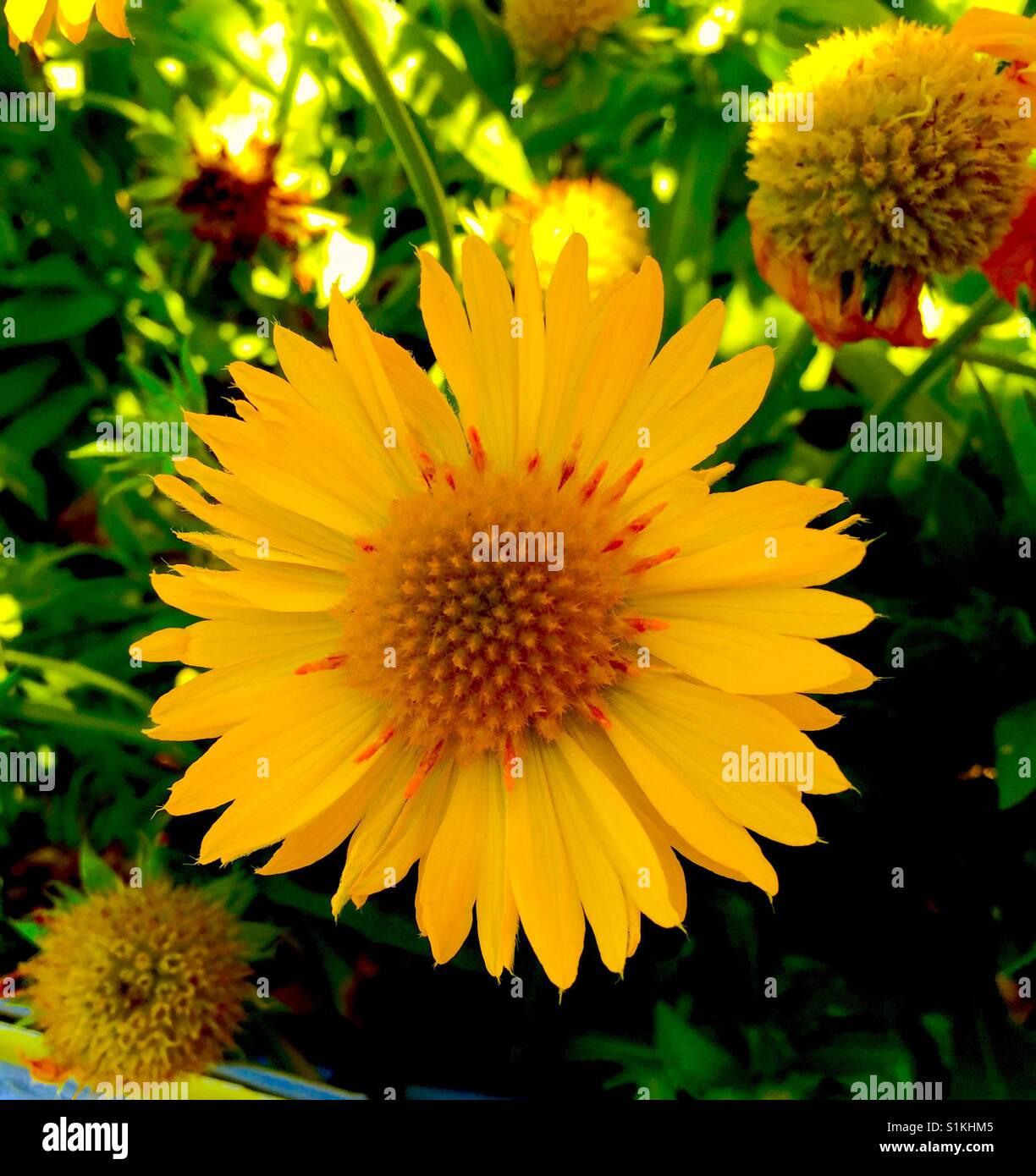 Yellow Blanket Flower Stock Photos Yellow Blanket Flower Stock