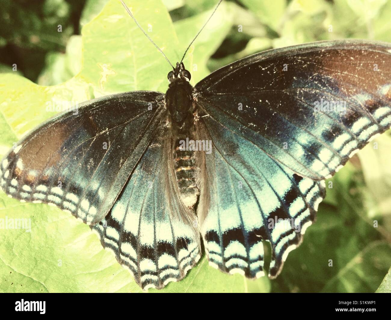 Limenitis arthemis butterfly on leaf in North Carolina backyard - Stock Image