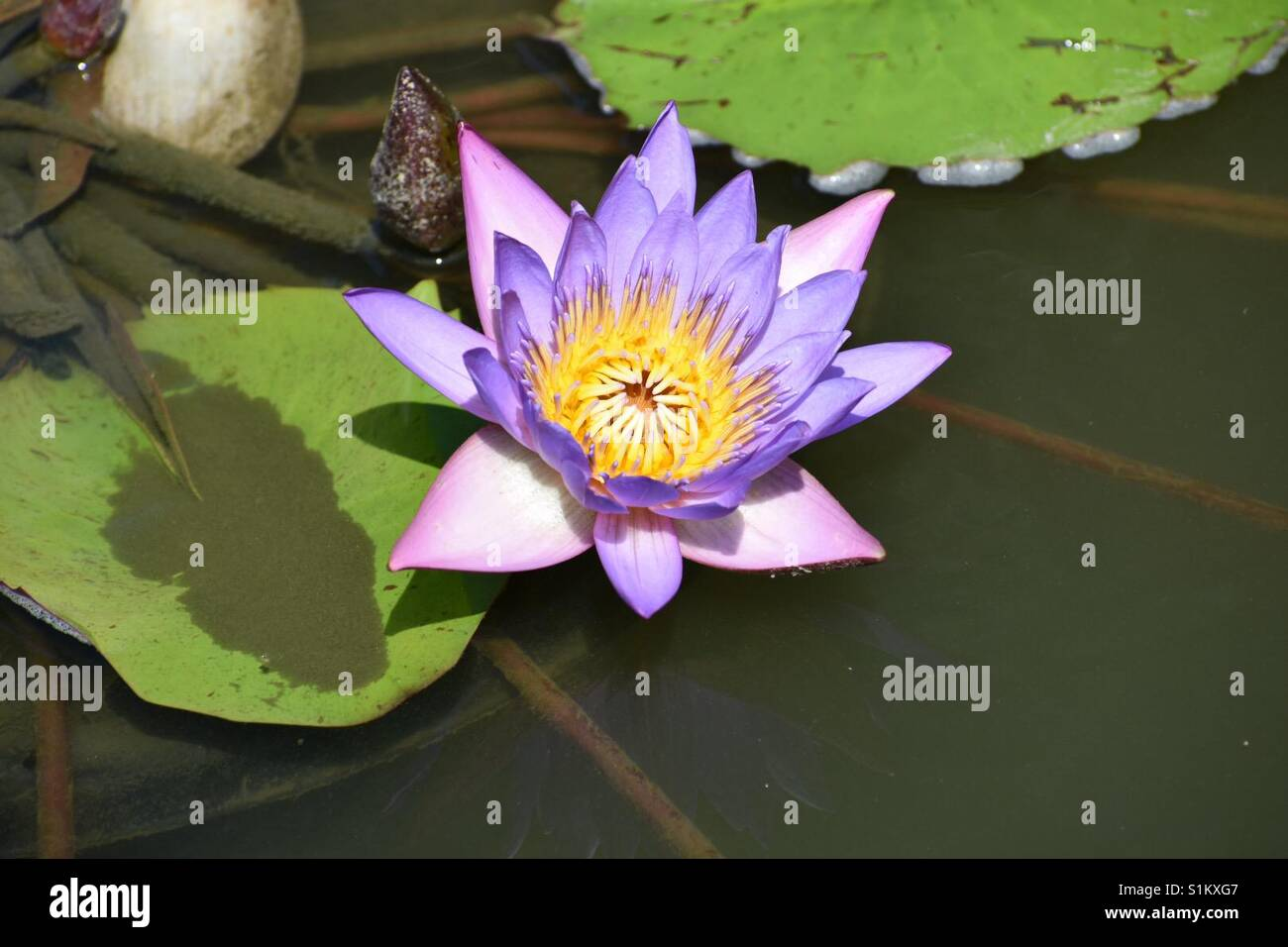 On A Lotus Flower Stock Photos On A Lotus Flower Stock Images