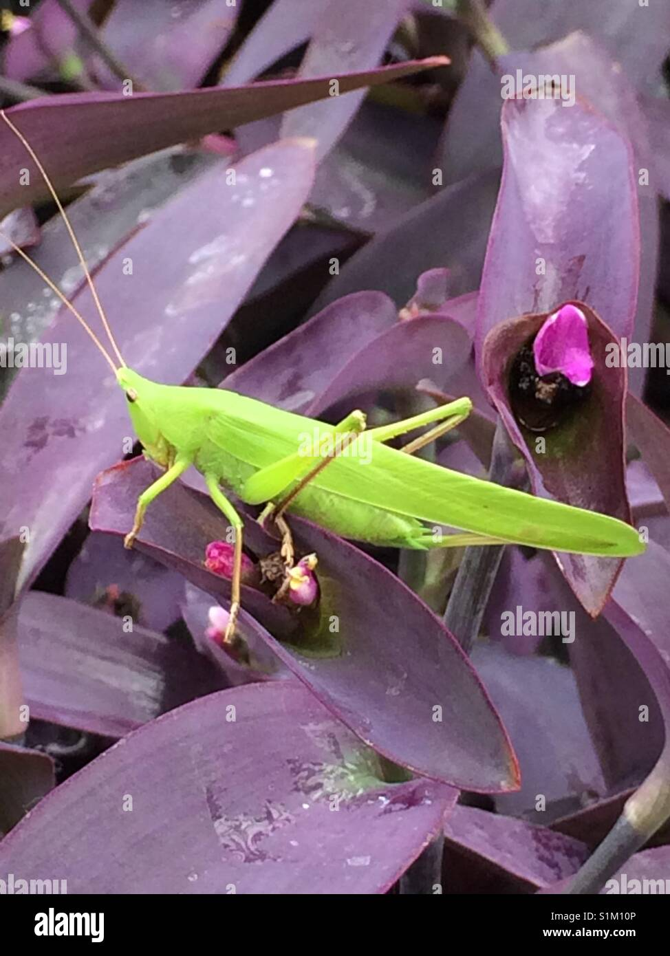 Katydid/Bush Cricket sitting on the Wandering Jew plant - Stock Image