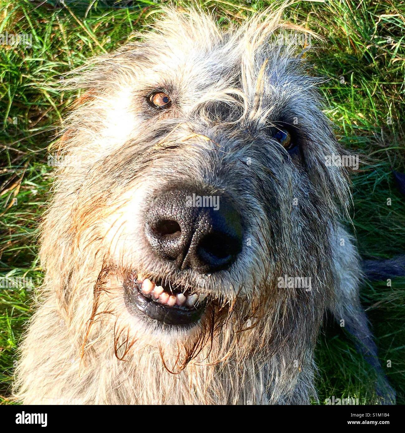 Irish wolfhound looking at camera with a big toothy grin - Stock Image