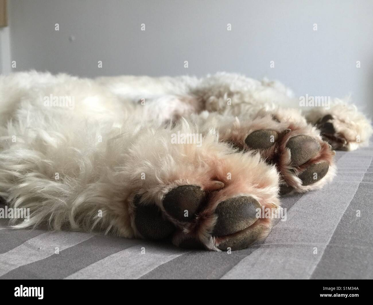 White dog with black paws looking like a polar bear lying in a bed on grey sheets. Weisser Hund, goldendoodle liegt Stock Photo