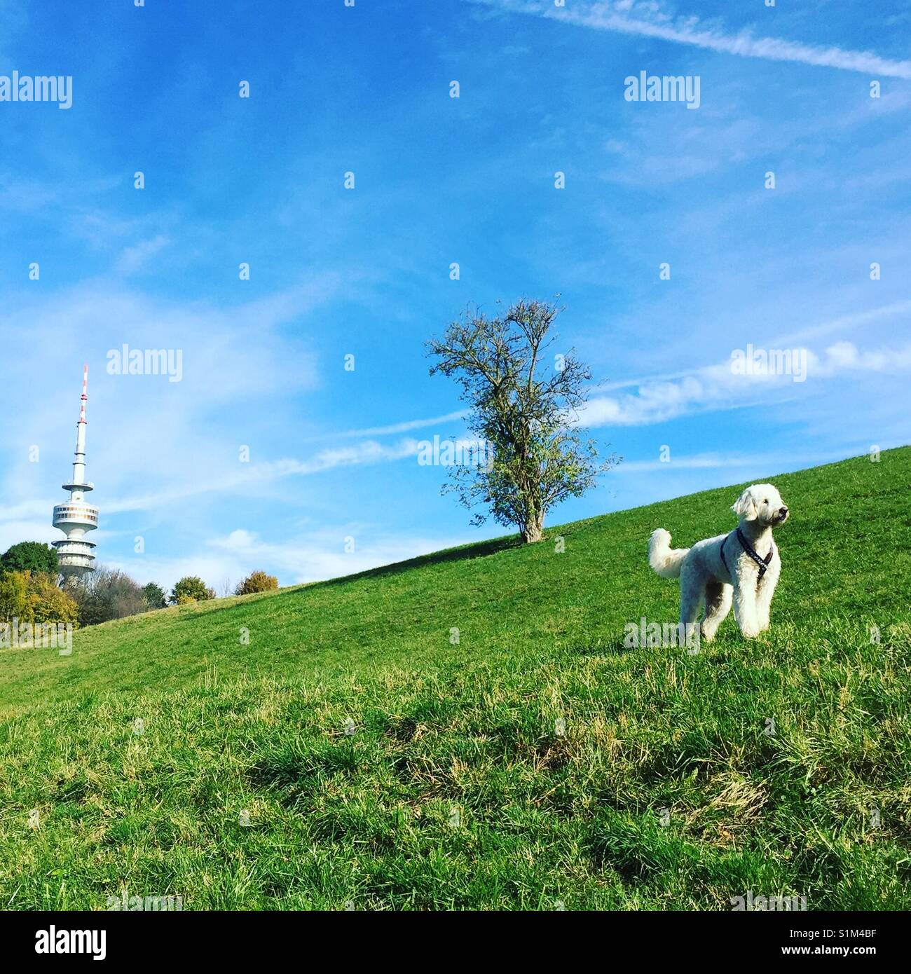 goldendoodle, weisser Hund steht majestätisch, stolz, aufmerksam, Olympiaberg, grünes Gras und vor blauem - Stock Image