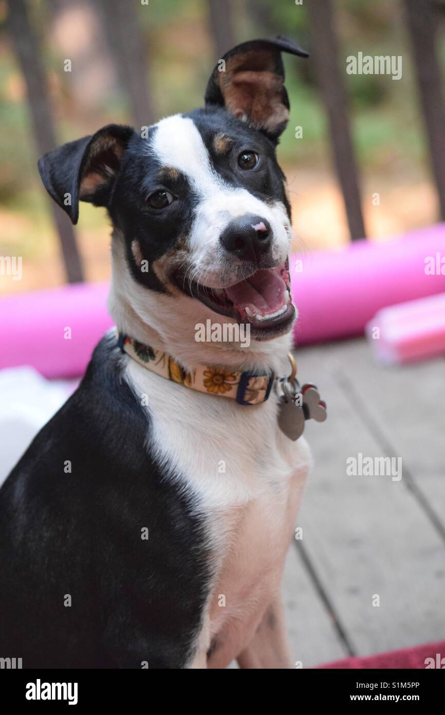 Smiling border collie mix on a deck with swim noodles in the background. - Stock Image