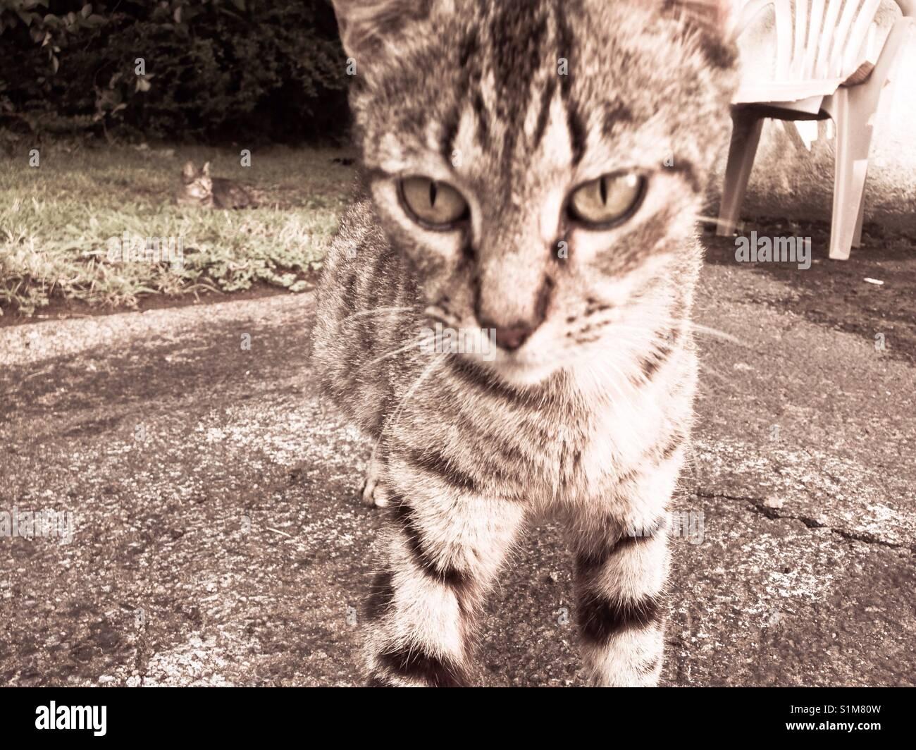 Hesitation- approaching feral cat hesitates - Stock Image