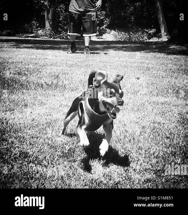 Puppy having fun running in yard - Stock Image