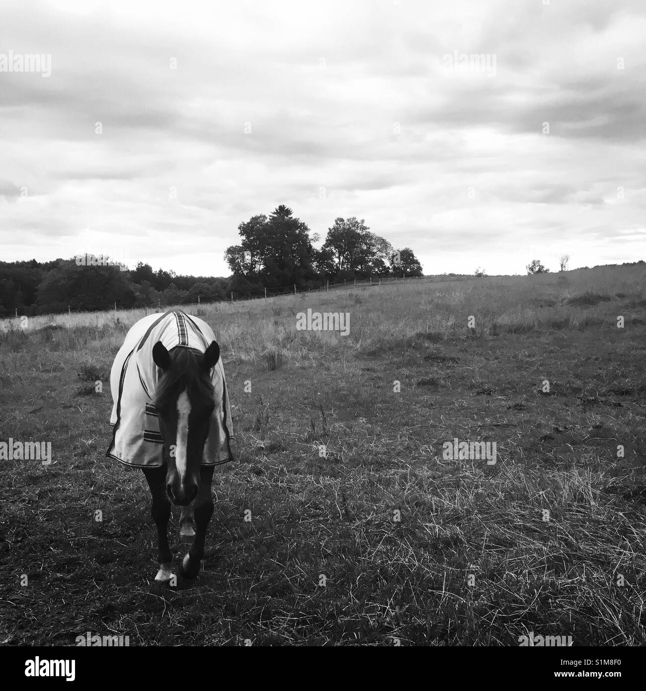 Horse with insects protection cover in field, Skane, Sweden, Scandinavia - Stock Image