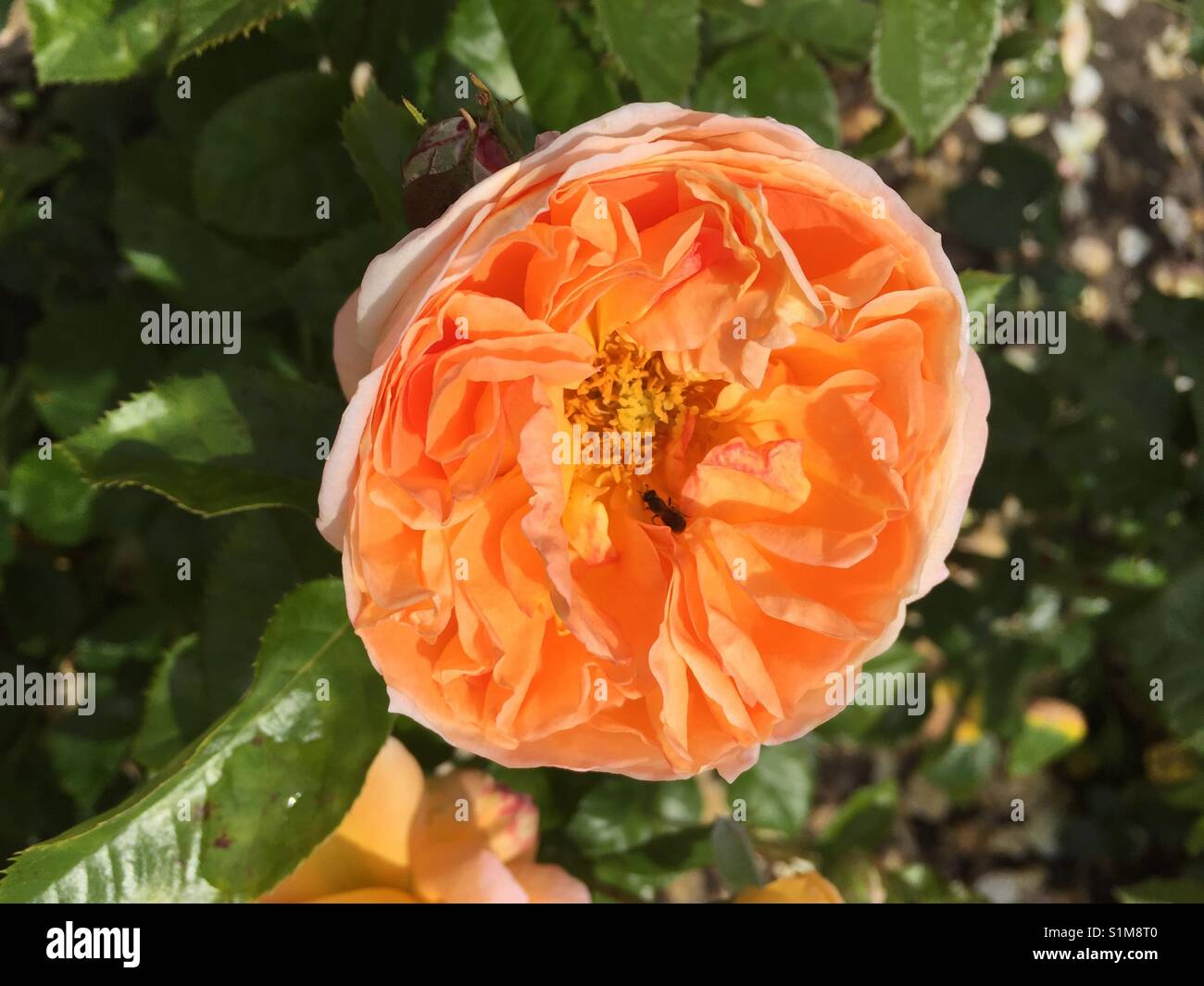 Floridunda rosette shaped fully double Peach rose 'Sunlight Romantica'.  Single rose bloom with green leaf - Stock Image