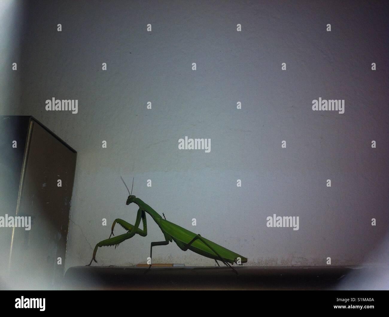Praying mantis - Stock Image