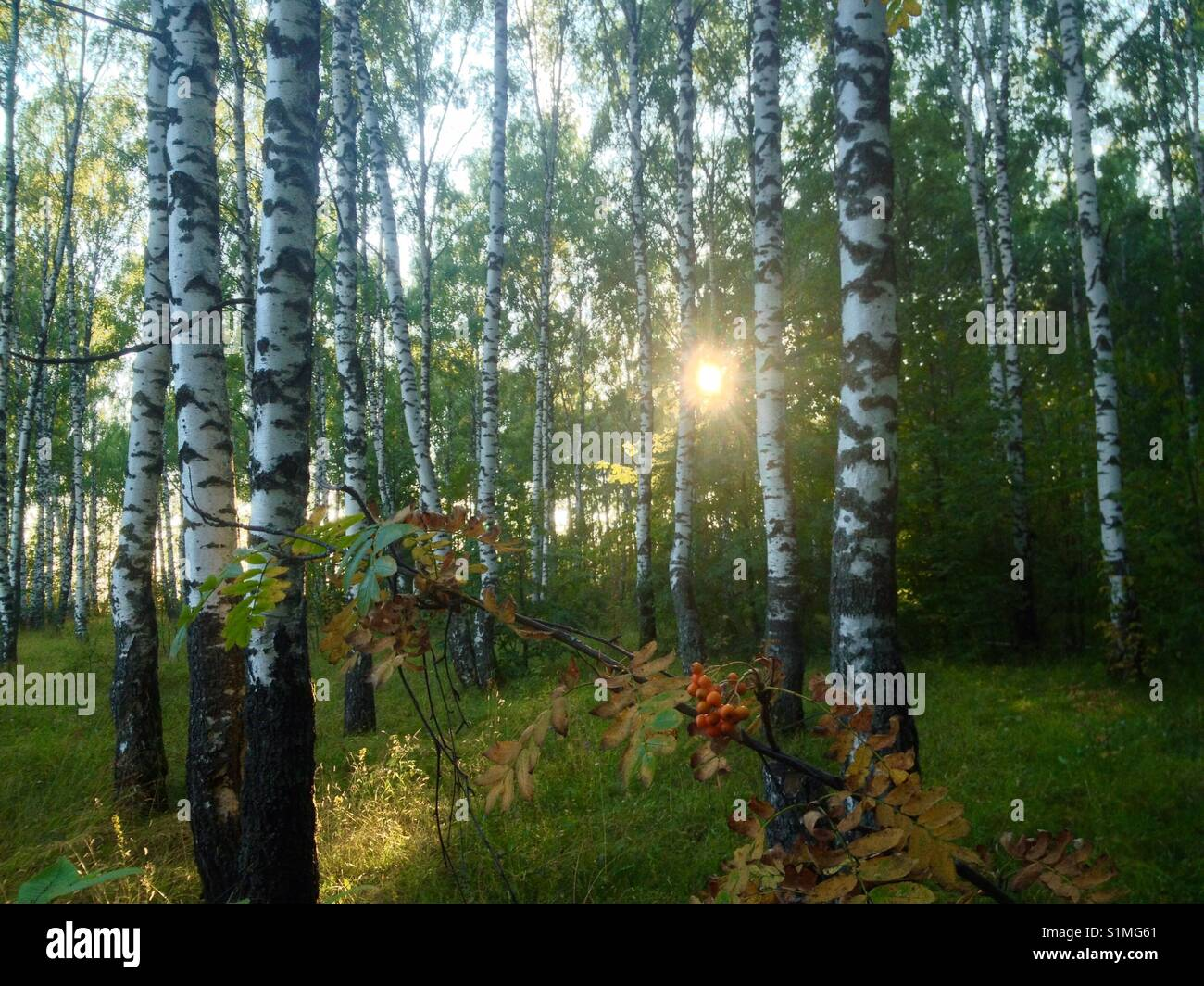 Thoughtlessness contemplation in the August forest at the sunset - Stock Image