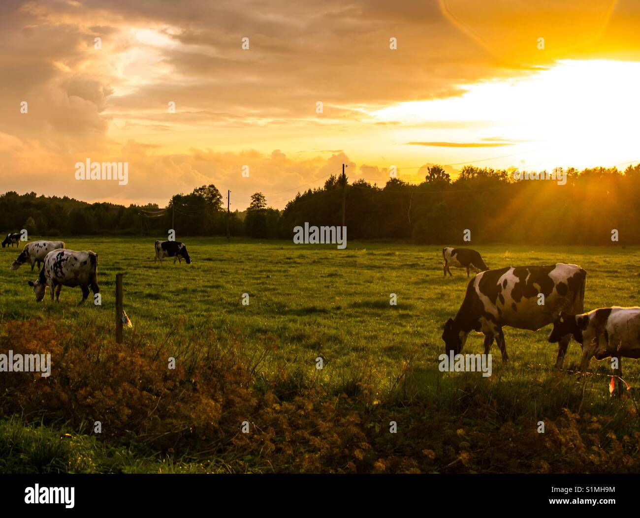 'Till the cows come home at sunset. - Stock Image