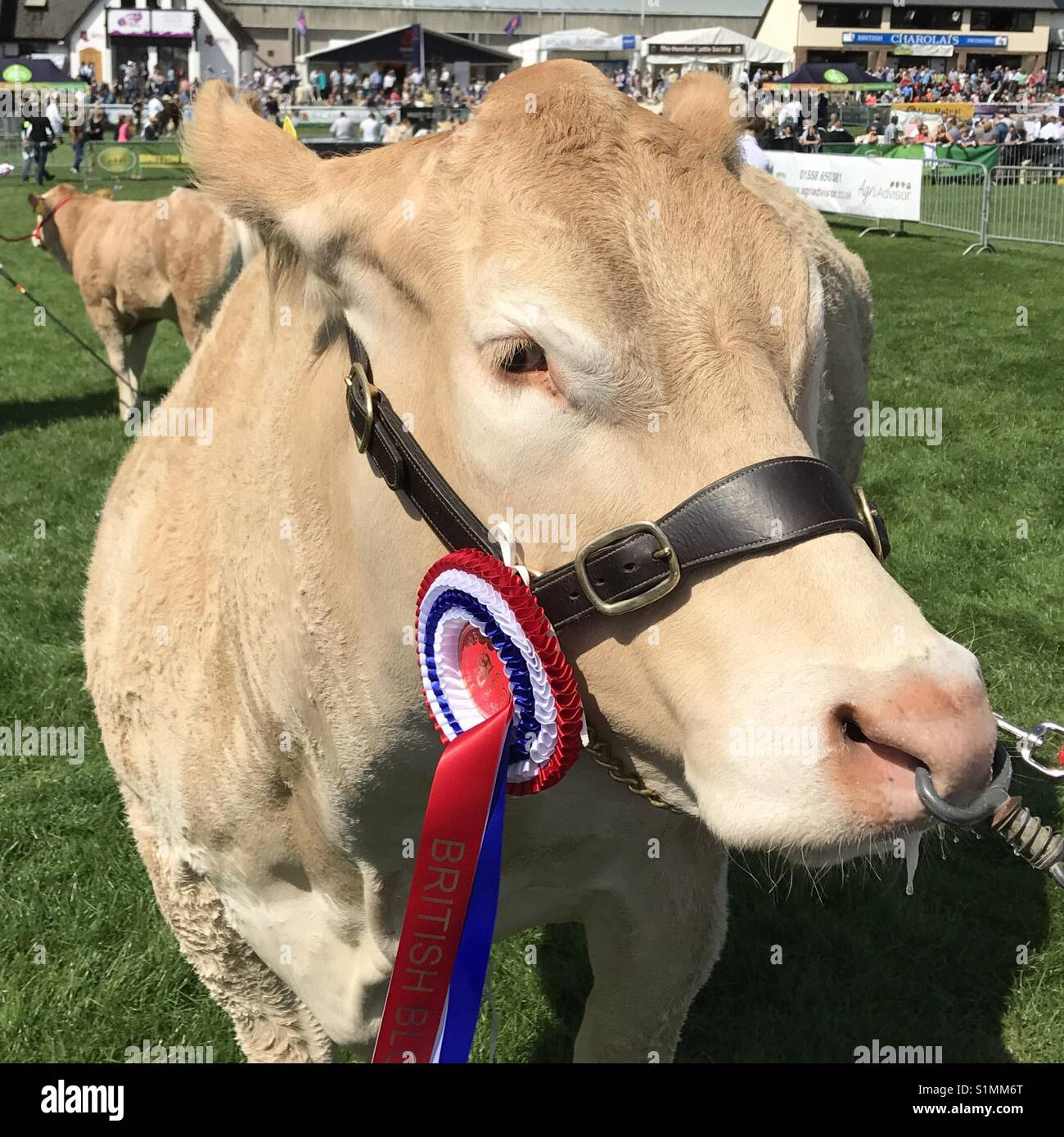 Bull -British Blonde- with rosette at the Royal Welsh Show 2017 - Stock Image