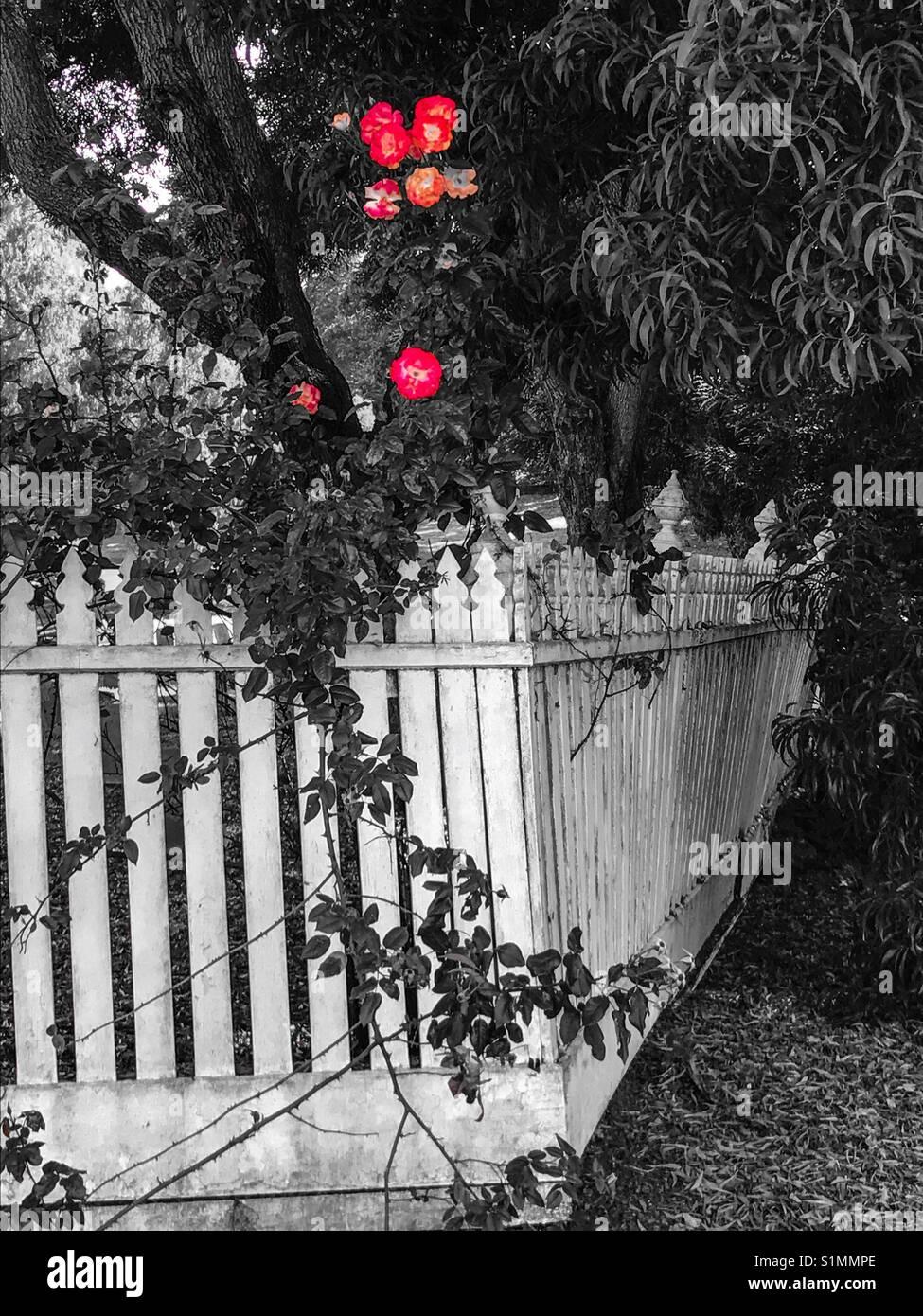White picket fence & roses - Stock Image