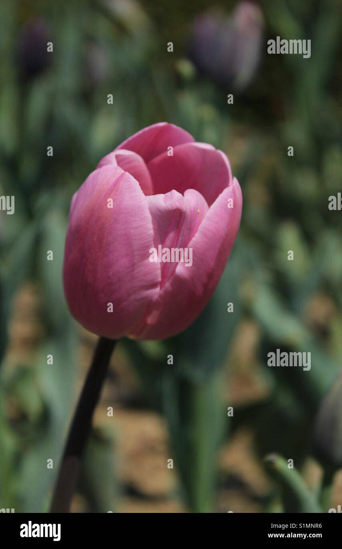 Tek çiçek Stock Photos Tek çiçek Stock Images Alamy