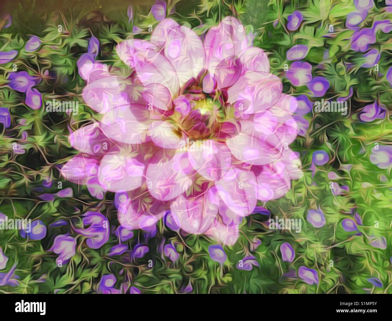 Blend of two floral images to create beautiful soft background - Stock Image