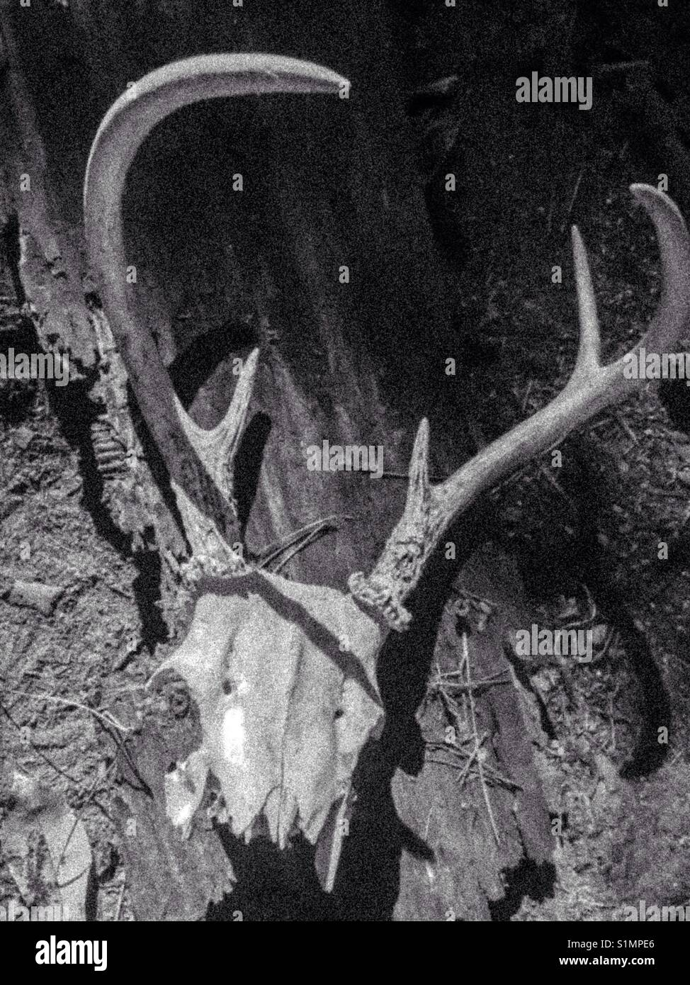 Grainy black and white photo of whitetail skull - Stock Image