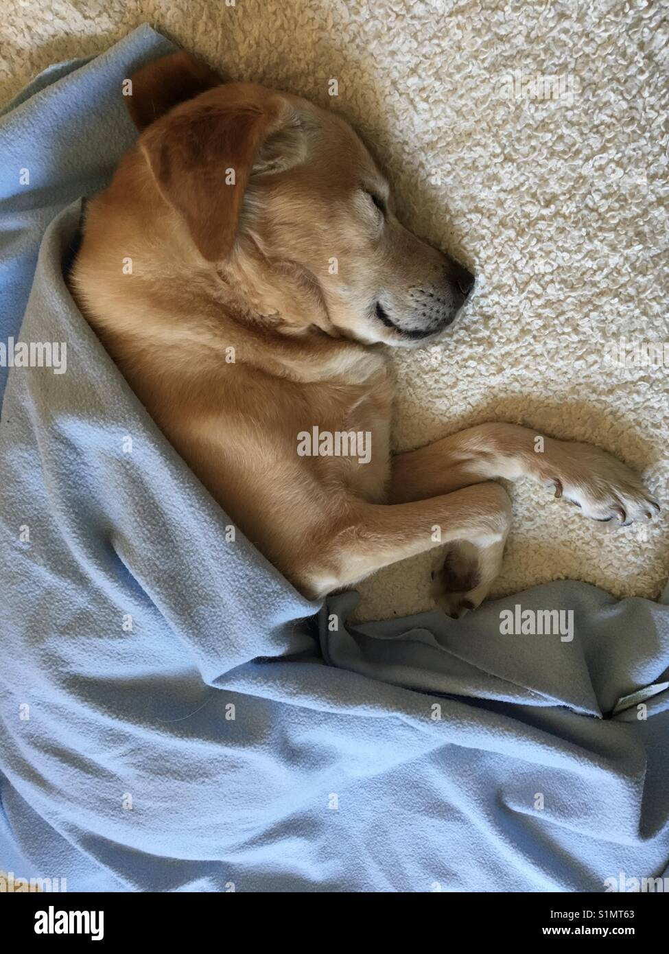 Labrador retriever sleeping in bed with blanket - Stock Image